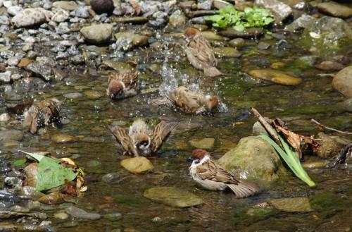 スズメの水遊び